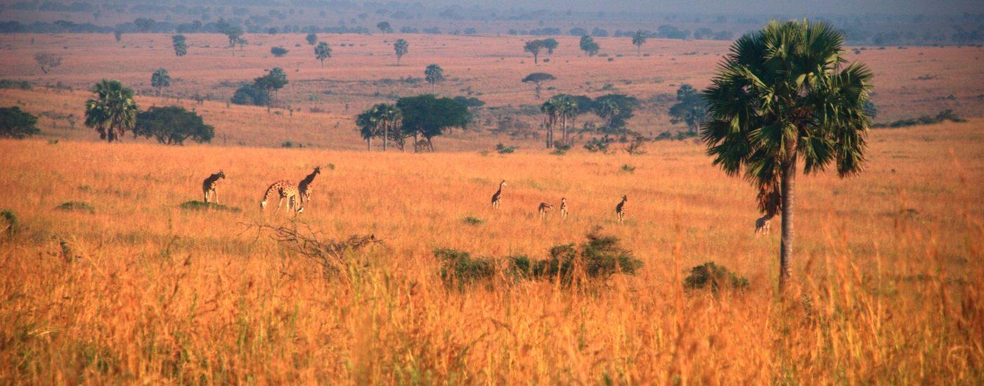 Giraffes by flöschen