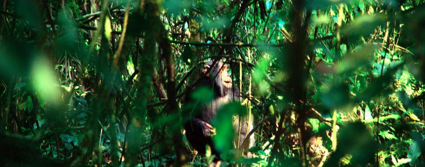 Little Chimp by flöschen
