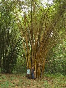 Bambuspflanzung